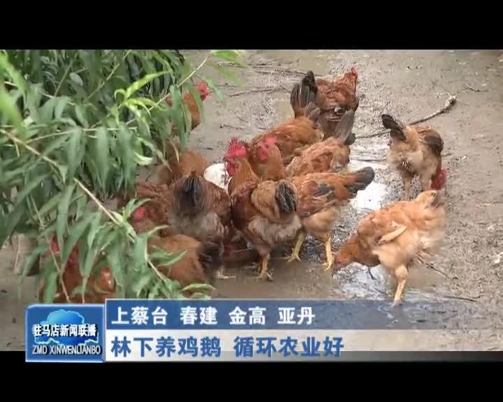 林下养鸡鹅鹅 循环农业好
