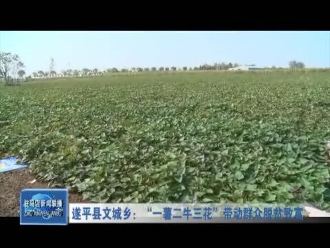 """遂平县文城乡:""""一薯二牛三花""""带动群众脱贫致富"""