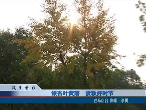 银杏叶黄落 赏秋好时节
