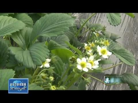 赵龙:草莓种植带动乡亲共同致富