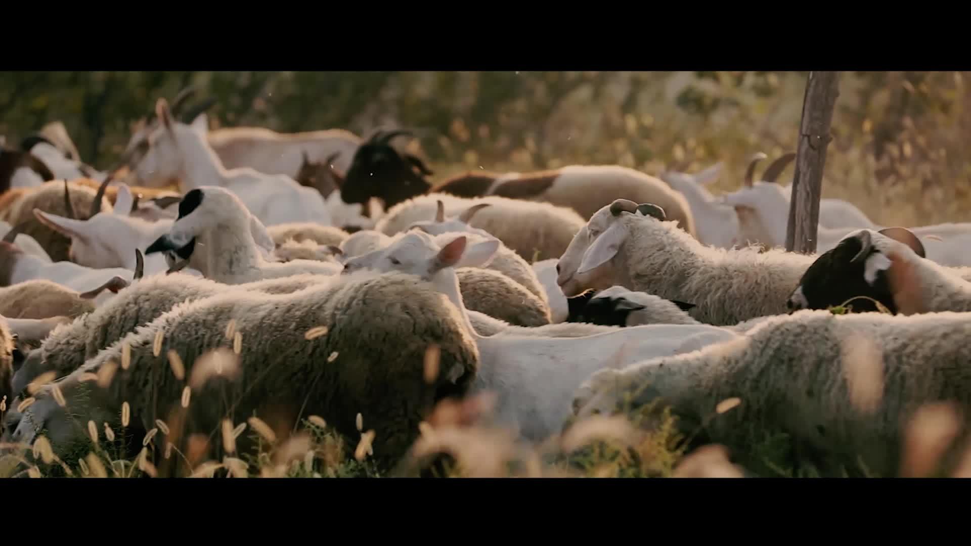 《一个羊倌的梦想.》
