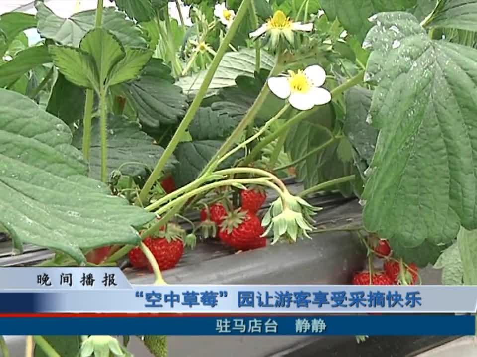 """""""空中草莓""""园让游客享受采摘快乐"""