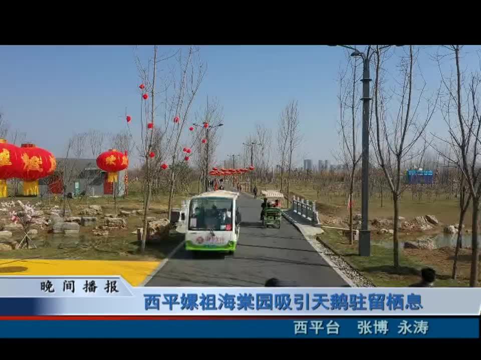 西平嫘祖海棠园吸引天鹅驻留栖息