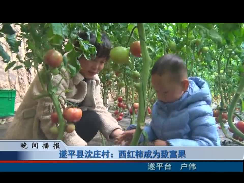 遂平县沈庄村:西红柿成为致富果