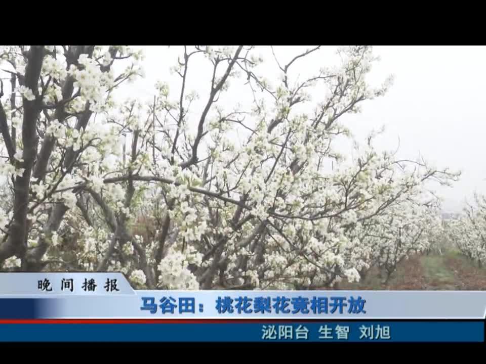 马谷田:桃花梨花竞相开放