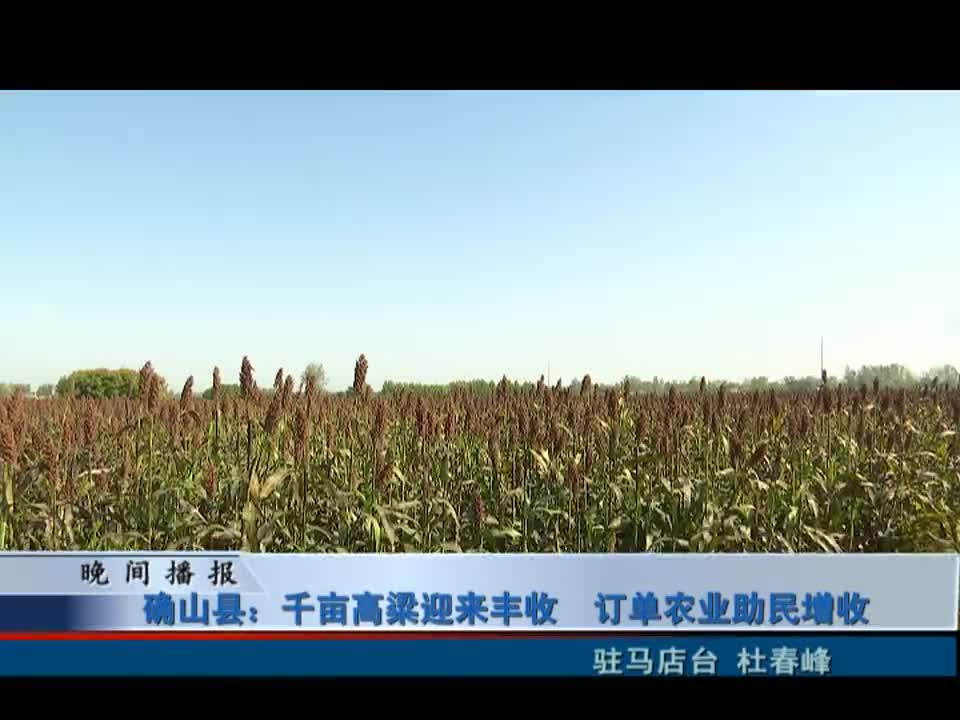 确山县:千亩高粱 迎来丰收 订单农业助民增收