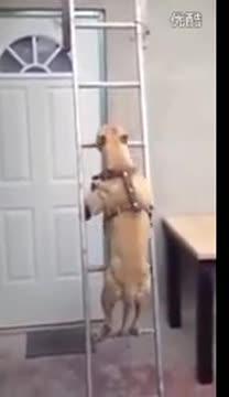 《成精了!汪星人下楼梯的特别技巧》